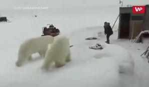 Człowiek kontra dwa niedźwiedzie. Nagranie z Rosji