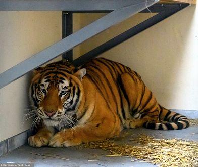 Transport tygrysów. Weterynarz graniczny dostanie nagrodę