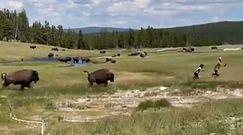 Ucieczka przed bizonem. Przewróciła się i udawała martwą, by dzikie zwierzę ją zostawiło