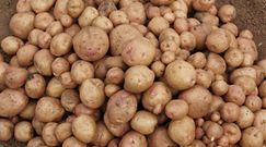 Nowy gatunek ziemniaka. Pomoże milionom rolników