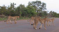 Lwica kontra pięć gepardów. Rywalizacja o posiłek w Parku Narodowym Krugera