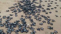 Miliony żółwi na plaży. Efekt koronawirusa