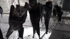 Nagrali wiszące nietoperze. Wyglądają jakby tańczyły na dyskotece