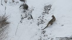 Spacerek po śniegu. Bardzo rzadkie nagranie z wysokich gór