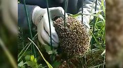 Jeż utknął w ogrodzeniu. Błyskawiczna reakcja 12-latki