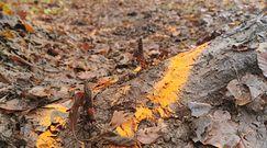 Zabójcze kolce. Przerażające odkrycie leśników na szlaku