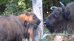 Upalne lato w lesie. Młode żubry na nagraniu z Nadleśnictwa Baligród