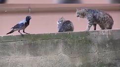 Wrona przyzwoitka kontra para kotów. Finał tego spotkania zaskakuje