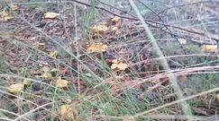 Kurkowy raj. W tym miejscu grzyby wysypały. Nagranie Lasów Państwowych