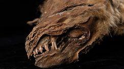 Tajemnicza Zhùr. Mumia wilka sprzed 57 tys. lat