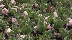 Tulipany ''ofiarami'' koronawirusa
