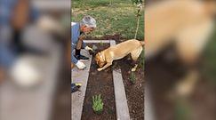 Pies ogrodnik. Sadzenie staje się proste