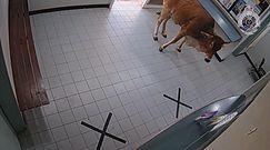 Ciekawska krowa. Odwiedziła posterunek policji