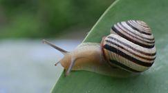 Prawdziwa inwazja ślimaków. Jak się ich pozbyć w prosty sposób?