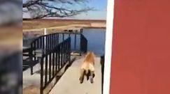 Kąpiel psa w stawie. Wypuścił labradora na lód, nie mógł powstrzymać śmiechu
