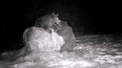 Walka niedźwiedzi o snop siana. Zabawne nagranie z Bieszczad