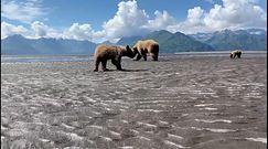 Niezwykłe spotkanie rodziny niedźwiedzi. Byli zajęci poszukiwaniem swojego przysmaku