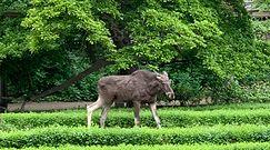 Łoś w warszawskim parku. Interweniował ekopatrol Straży Miejskiej