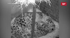 Nocne przytulanie. Słodkie leopardy podbijają internet