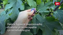 Warto jeść figi. Chronią przed rozwojem raka