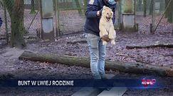 Szczepienie lwic w zoo. Niebezpieczna operacja w Holandii