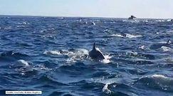 Ogromna rodzina delfinów poluje na ryby
