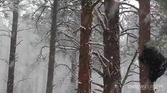 Pierwszy śnieg w Arizonie. Niedźwiedzie zaskoczone
