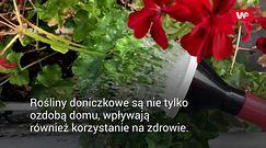 Rośliny doniczkowe, które poprawią stan zdrowia