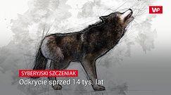 Syberyjski szczeniak. Odkrycie sprzed 14 tys. lat