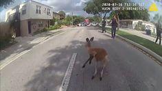 Policyjna obława. Uciekinier to kangur