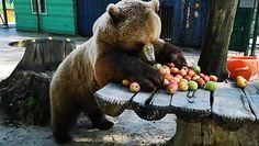 Niedźwiedzia uczta. Groźny drapieżnik i ulubione owoce