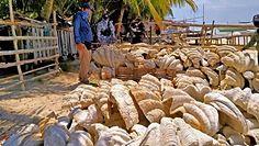 Gigantyczne muszle małży. Udaremnili rekordowy połów zagrożonego gatunku