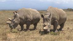 Ostatni nosorożec północny. Przełom w sprawie ocalenia gatunku