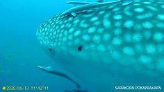 Na ratunek rekinowi. Nagranie z Tajlandii