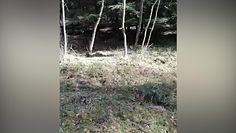 Szarża dzikiego odyńca. Oko w oko z dzikiem w Borach Tucholskich