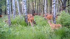 Stado jeleni. Niezwykły widok w Bieszczadach