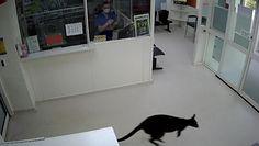 Niezwykły gość w australijskim szpitalu. Uchwyciła go kamera monitoringu