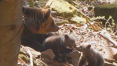 Niedźwiedzia rodzina. Leśnicy opublikowali nagranie z Bieszczad