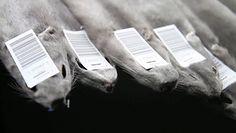 Koronawirus na fermach norek. Światowa Organizacja Zdrowia ostrzega