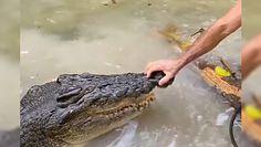Przeganianie krokodyla. Odepchnął ogromnego gada, mówiąc do niego: nie mam czasu