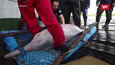 Różowy delfin. Ratują niezwykły gatunek z Amazonki