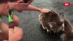 Australia po ulewach. Spragniony koala zlizuje wodę z asfaltu