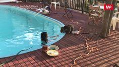 Uroczy sąsiad. Koala spragniony wody i… czułości