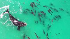 Delfiny zagrodziły mu drogę. Nagranie z drona