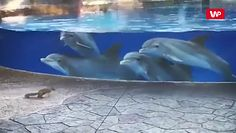 Niecodzienne spotkanie. Delfiny nie mogły przestać patrzeć