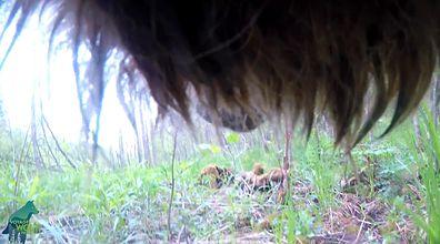 Świat oczami dzikiego wilka. Niezwykłe nagranie z USA