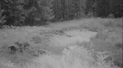 Młode wilki uczą się wyć. Niesamowite nagranie z lasu