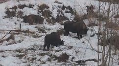Pastwisko na zboczu góry. Nadleśnictwo Baligród dzieli się niezwykłym nagraniem