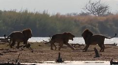 Nierówna walka lwów. Nagranie z Parku Narodowego Krugera