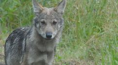 Młode wilki na środku drogi. Nagranie z Nadleśnictwa Oleszyce